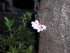sakura2004mar18.jpg