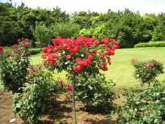rose-c
